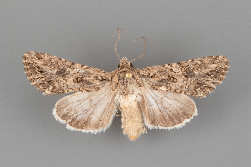 10224 Anarta mutata female