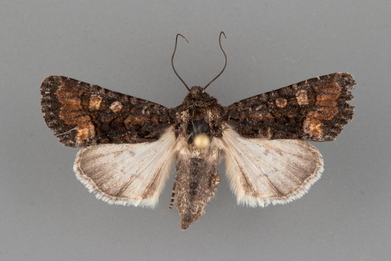 10406.5 Lacinipolia franclemonti female
