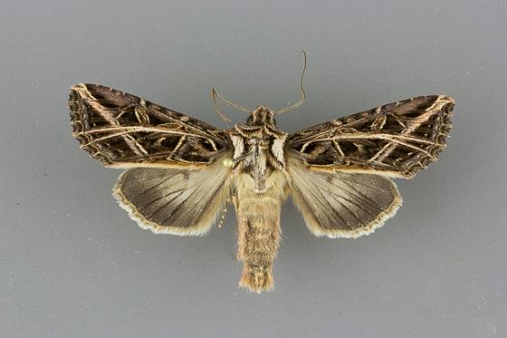 10428 Dargida procincta male