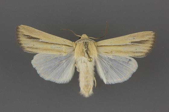 10453 Leucania stolata male