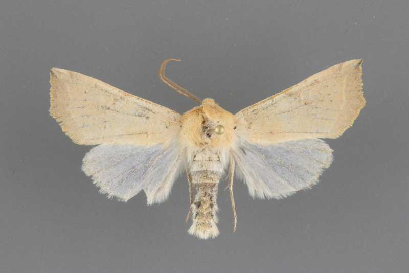 10466 Perigonica fulminans male