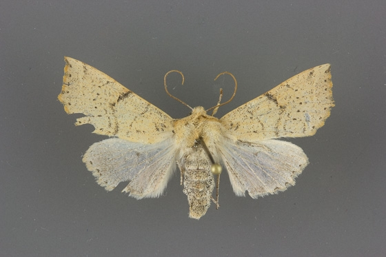 10468 Perigonica angulata female