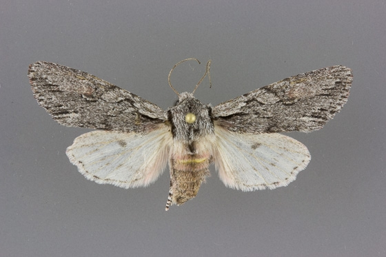 10508 Egira crucialis female