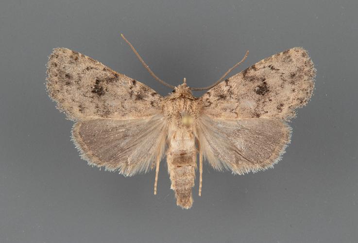 10538-Homorthodes-rubritincta-male