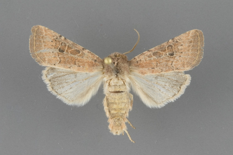 10556 Protorthodes perforata male