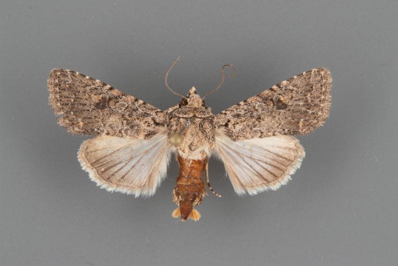 10559 Protorthodes alfkenii female