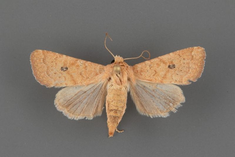 10562 Protorthodes mulina female