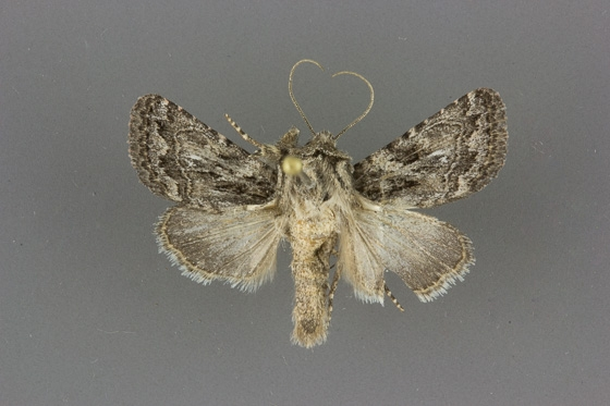 10574 Ulolonche orbiculata male