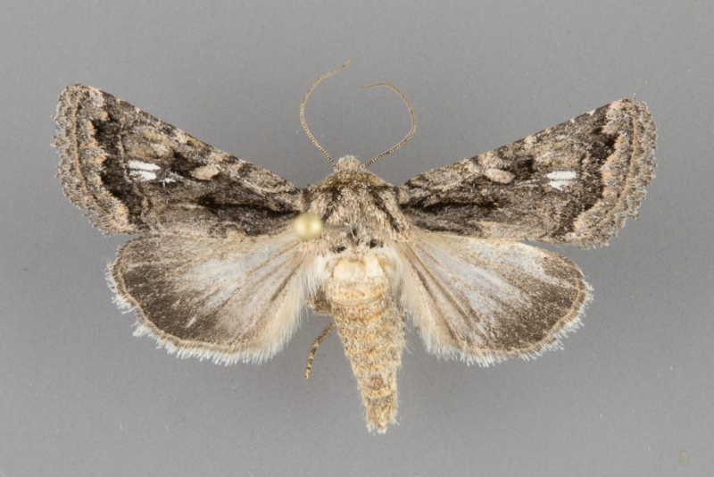 10574 Ulolonche orbiculata