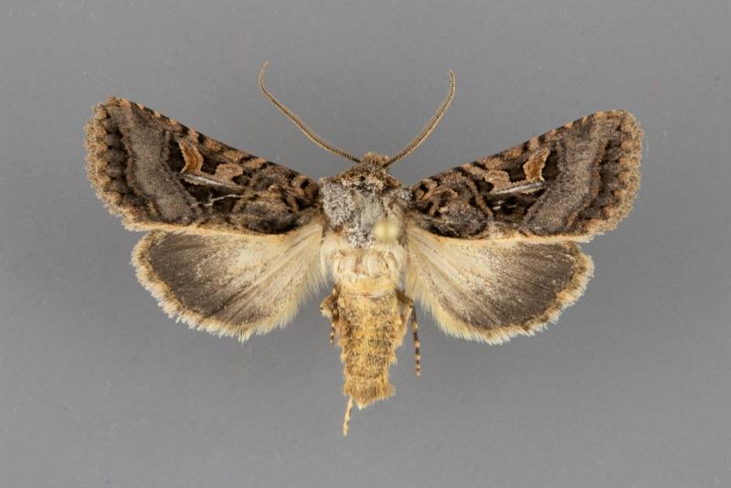 10576 Hyperepia jugifera male
