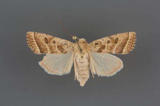 10597 Hypotrix trifascia