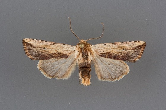 10615 Hypotrix diplogramma male