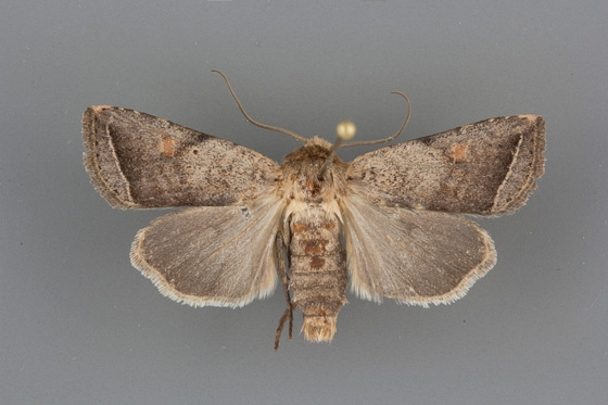 10616 Hypotrix parallela male