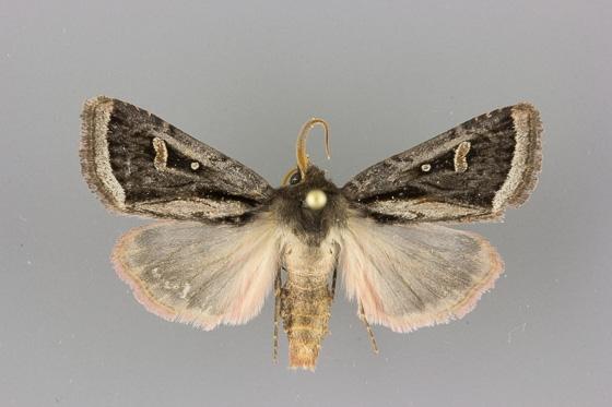 10621 Trichofeltia circumdata male