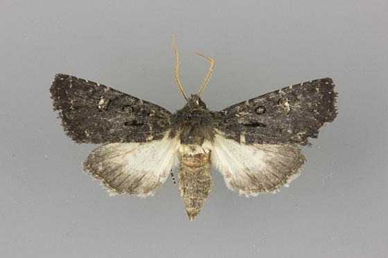 10626 Tricholita elsinora male