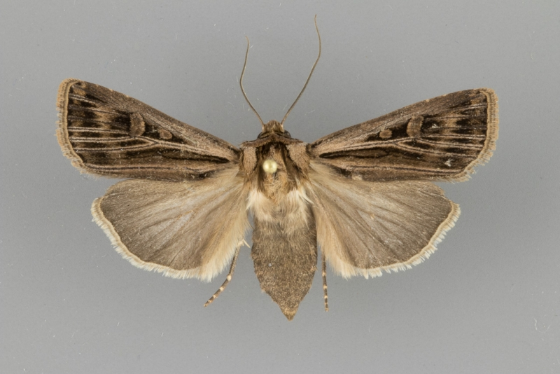 10642.1 Agrotis striata female