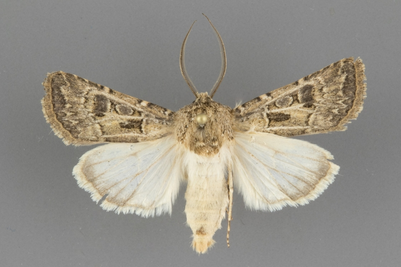 10645 Agrotis orthogonia male