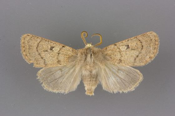 10696.1 Eucoptocnemis rufula male
