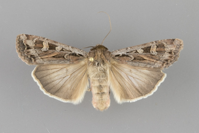 10731 Euxoa auxiliaris female