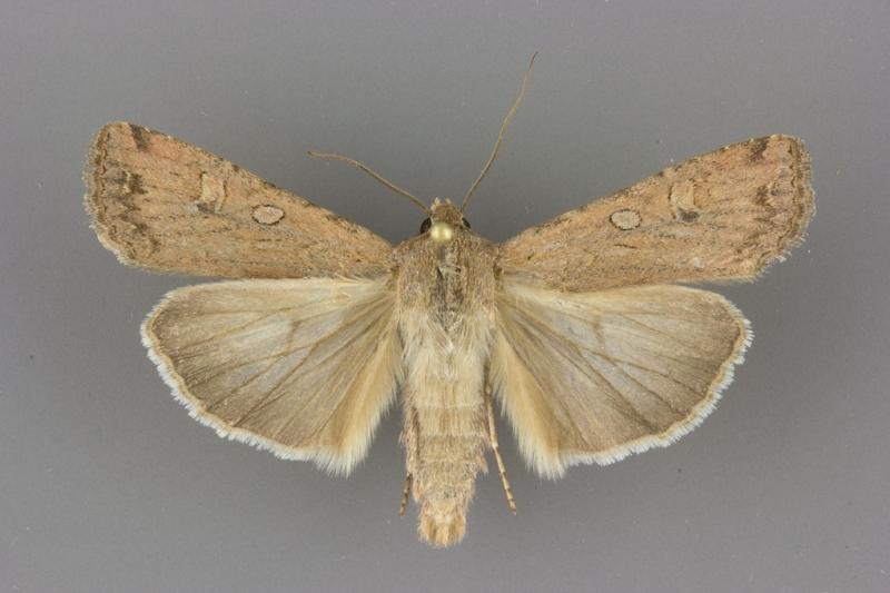 10731 Euxoa auxiliaris male