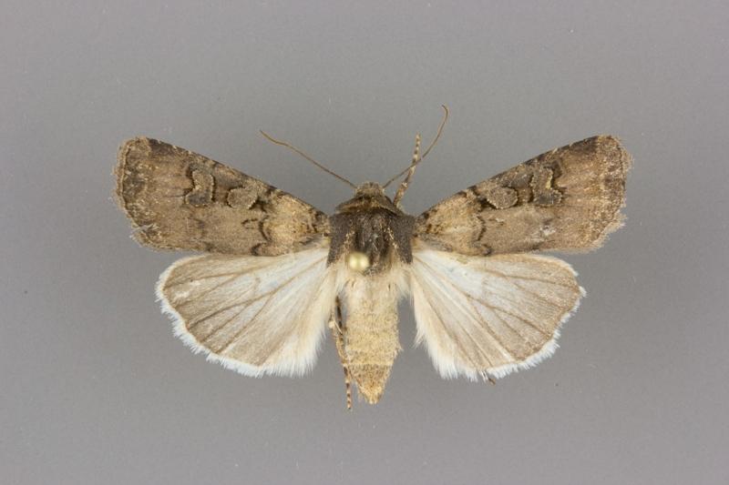 10807 Euxoa albipennis female