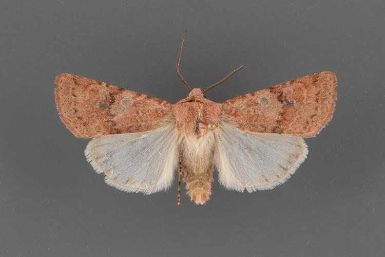 10813-Euxoa-medialis-male-ii-191
