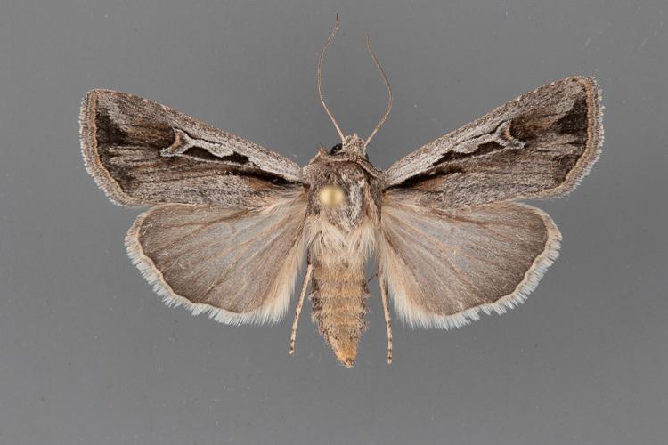 10820-Euxoa-hollemani-female