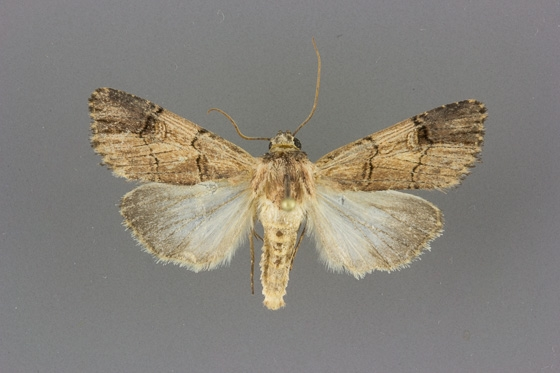 10869 Dichagyris grotei male