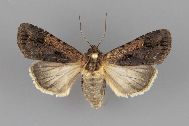 10871-Dichagyris-proclivis-male