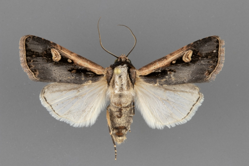 10873 Dichagyris salina male