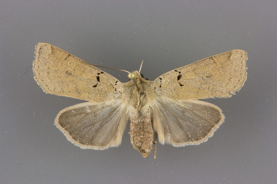 10881 Richia chortalis female