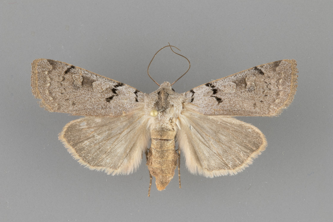 10882 Richia parentalis female