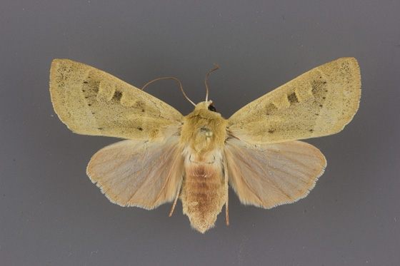 10885 Dichagyris madida female