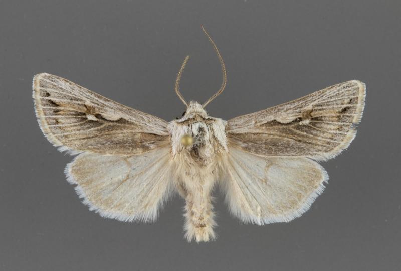 10899 Protogygia biclavis male
