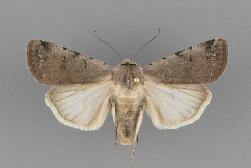 10904 Anicla beata female