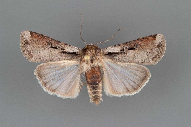 10914 Hemieuxoa rudens female