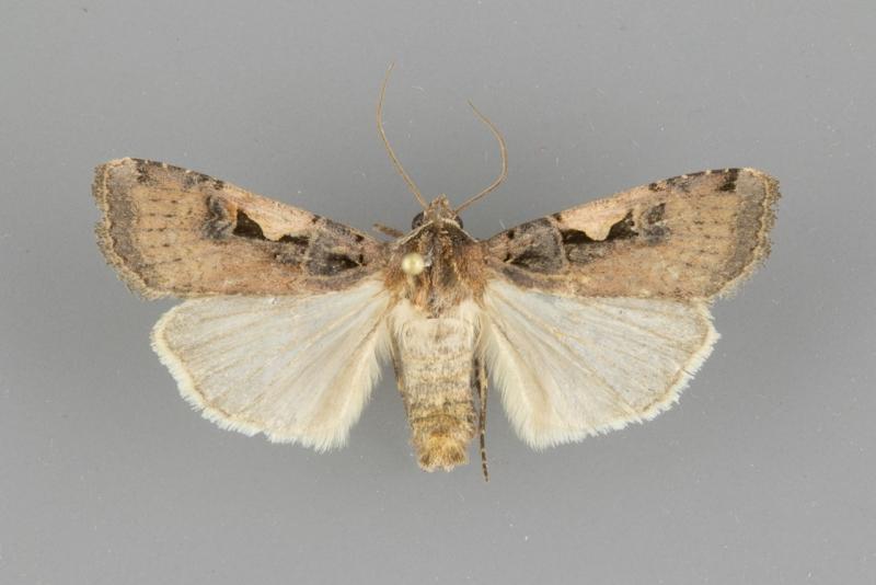 10942 Xestia c-nigrum male