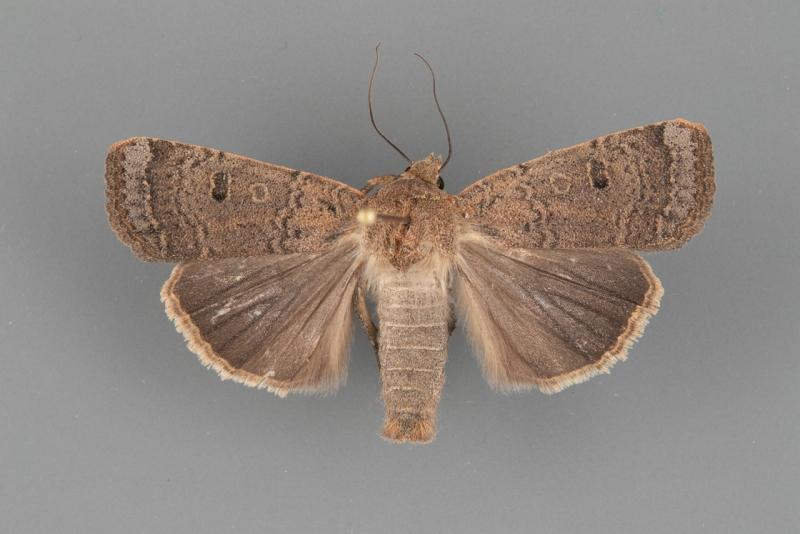 11027 Abagrotis orbis male