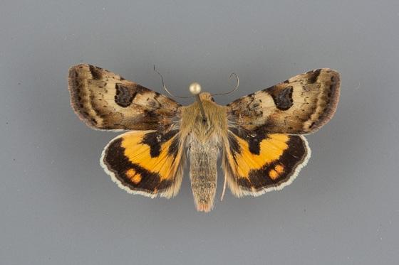 11072.2 Heliothis australis 2