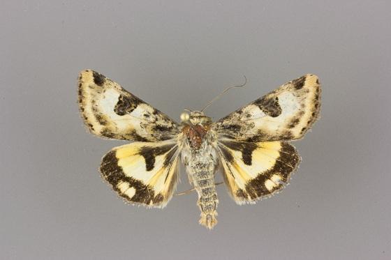 11072.2 Heliothis australis male