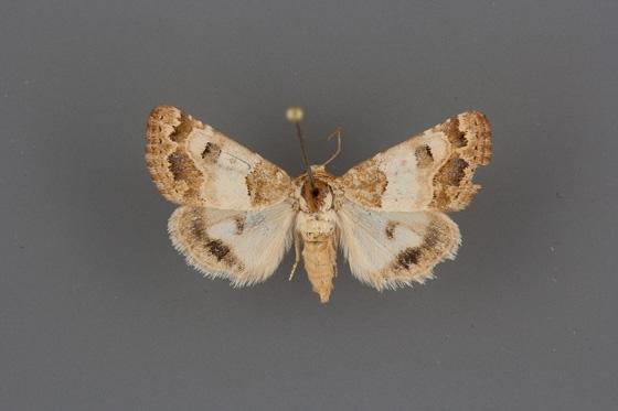 11181.1 Schinia ferrisi female