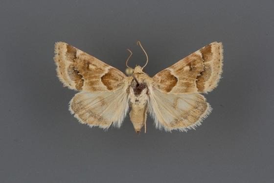 11184 Schinia walsinghami female