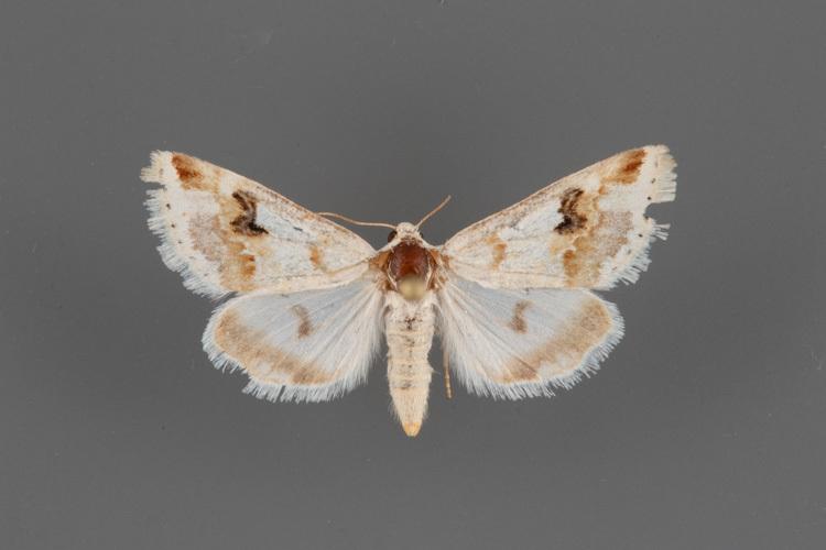 11188-Schinia-unimacula-female