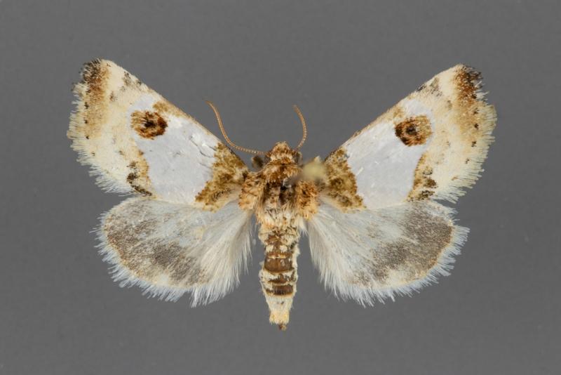 11197-Schinia-oculata-female-dorsal