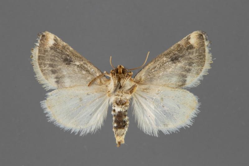 11197-Schinia-oculata-female-ventral