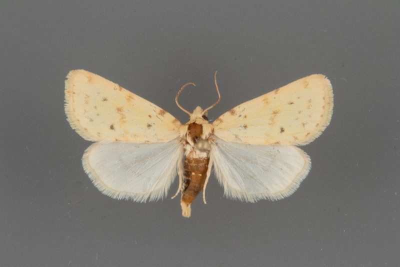 9729  Azenia implora male