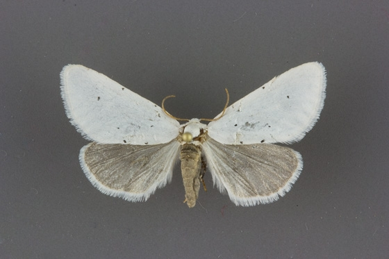 11216 Grotella blanca male