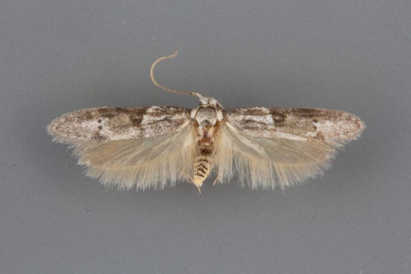 1162 Blastobasis glandulella male