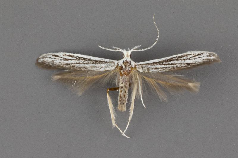 1259-Coleophora-discostriata-male-ii-101