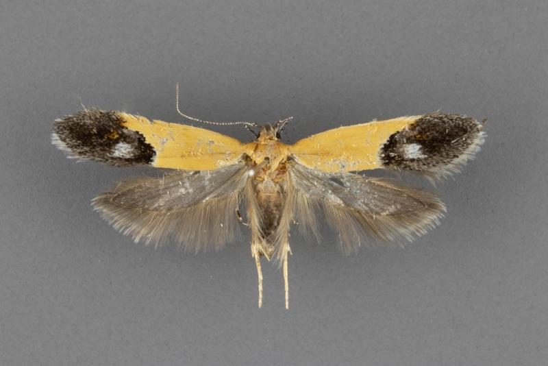 1525-Triclonella-xuthocelis-male-ii-97